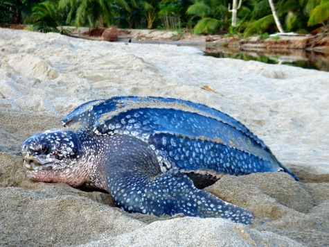 Grande Riviere giant leatherback turtle